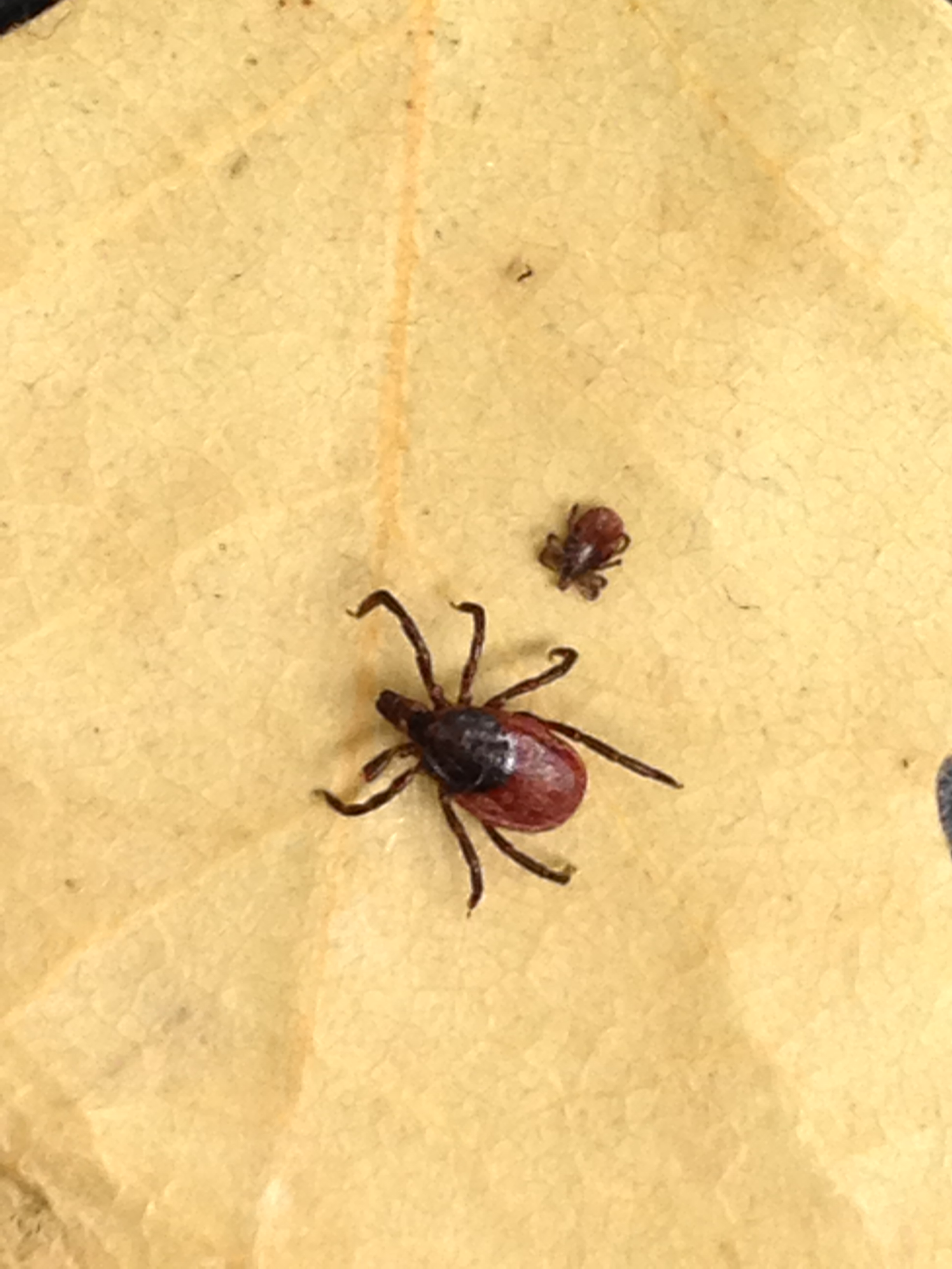 Common Ticks In Alameda County Vector Control Services