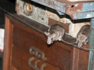 Domestic Rodents - Vector Control Services