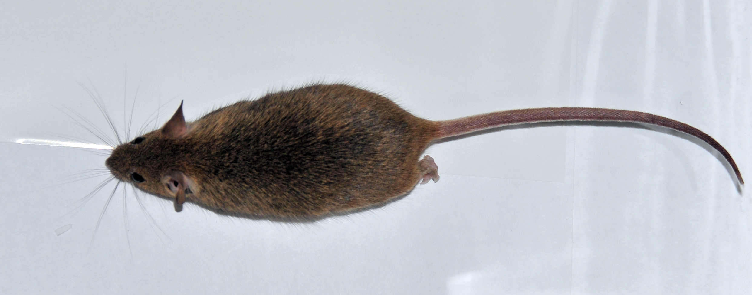 house mouse vector control services